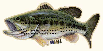 CRIBBAGE BOARDS: LARGE MOUTH BASS